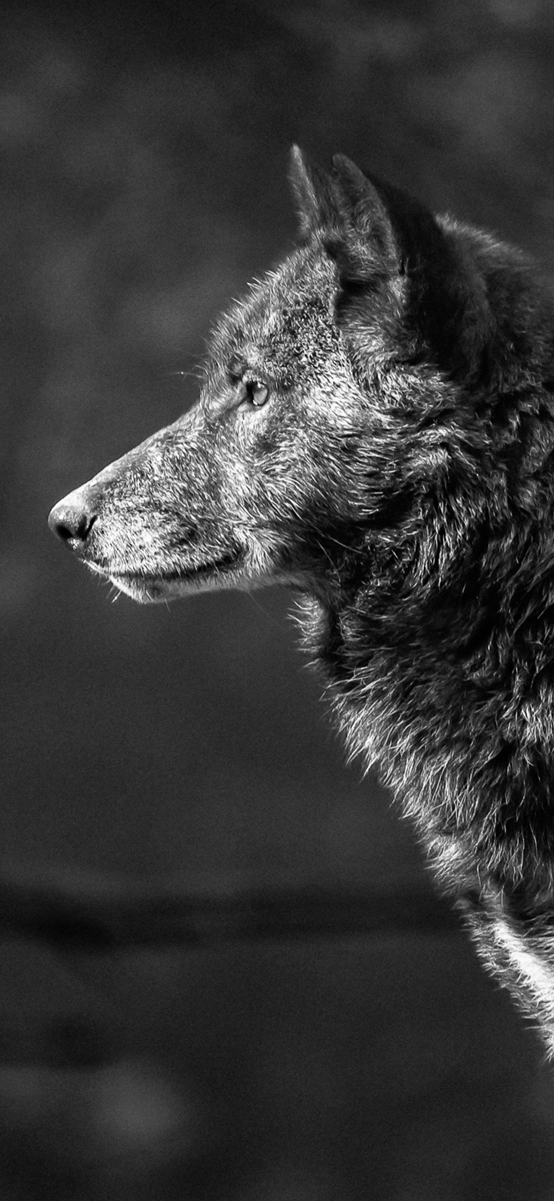 iPhone wallpaper wolf grey Wolf