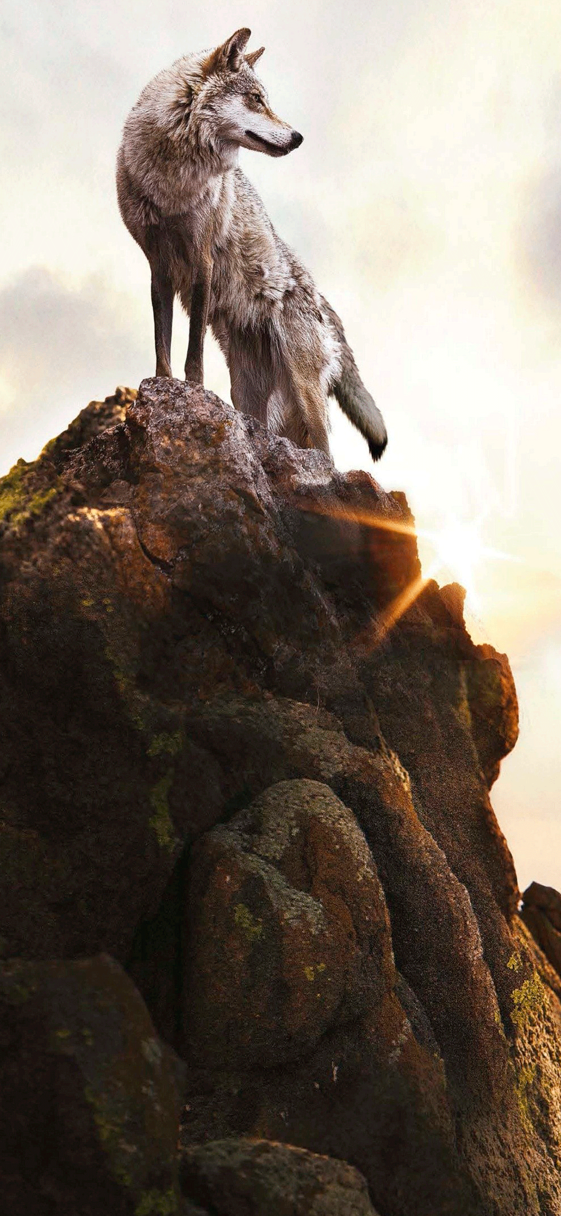 iPhone wallpaper wolf mountain Wolf