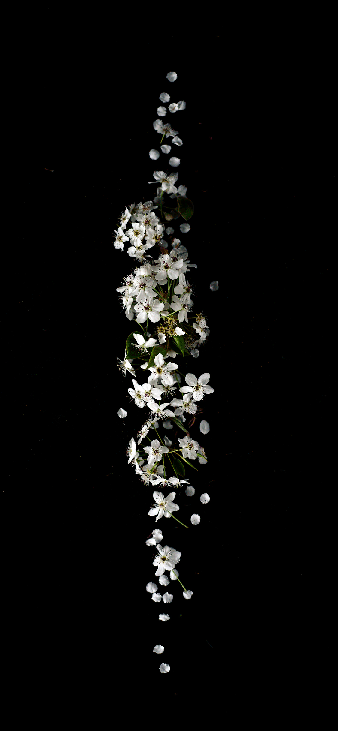 iPhone wallpaper flowers white Fonds d'écran iPhone du 15/08/2018