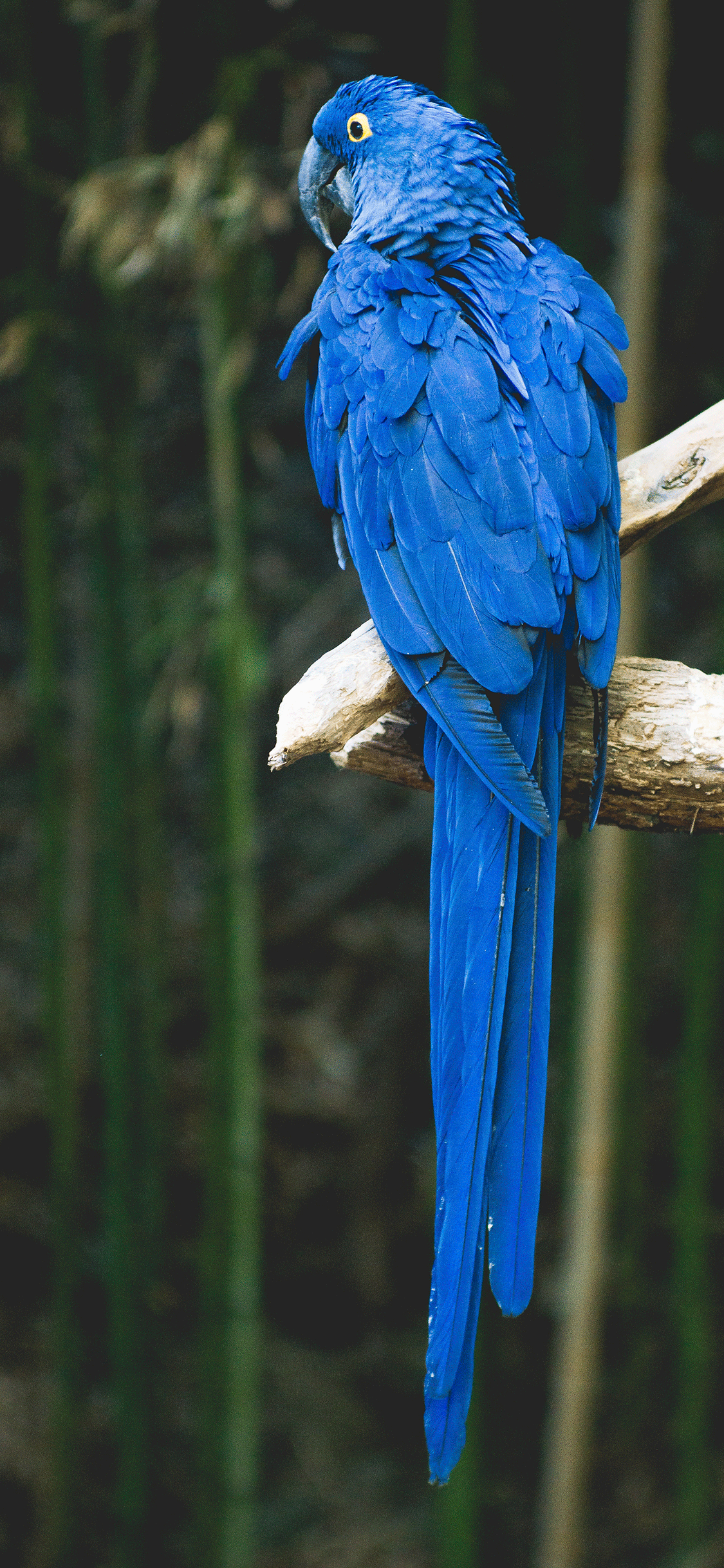 iPhone wallpaper parrot blue Fonds d'écran iPhone du 17/08/2018
