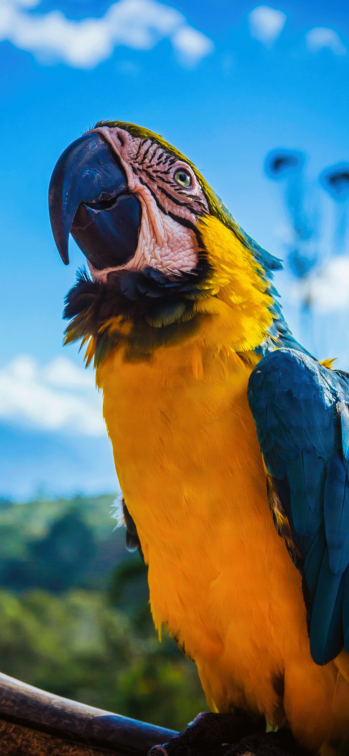 iPhone wallpaper parrot Parrot