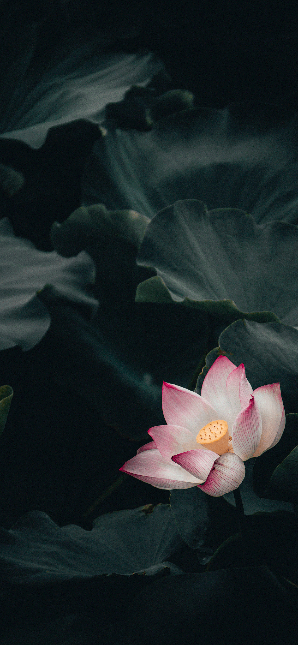 iPhone wallpaper lotus flower Fonds d'écran iPhone du 29/10/2018