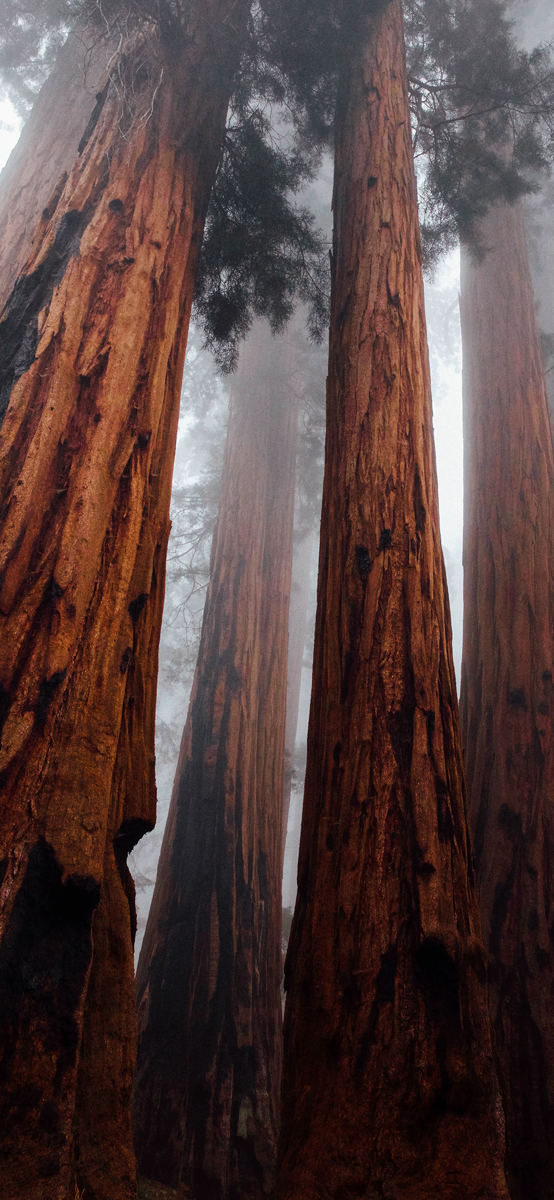 iPhone wallpaper tree sequoia Fonds d'écran iPhone du 09/10/2018