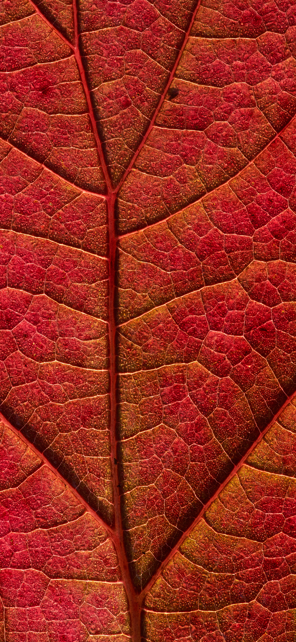 iPhone wallpaper textures leaf red Fonds d'écran iPhone du 19/12/2018