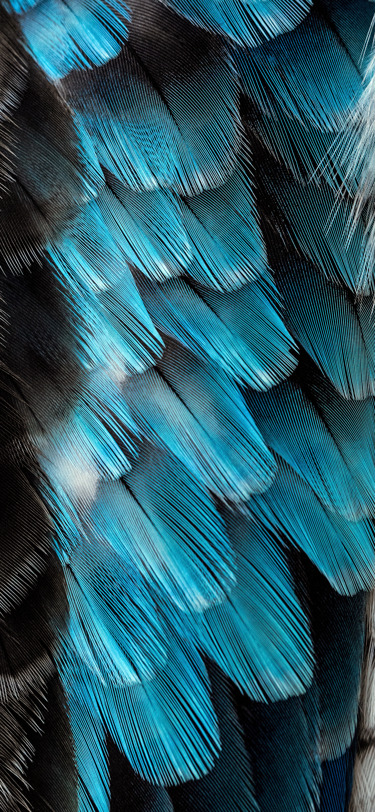 iPhone wallpaper feathers blue black Fonds d'écran iPhone du 19/02/2019