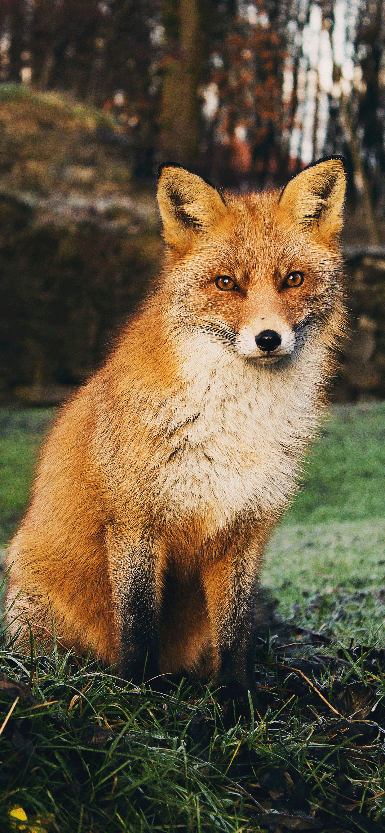 iPhone wallpaper fox norway Fox