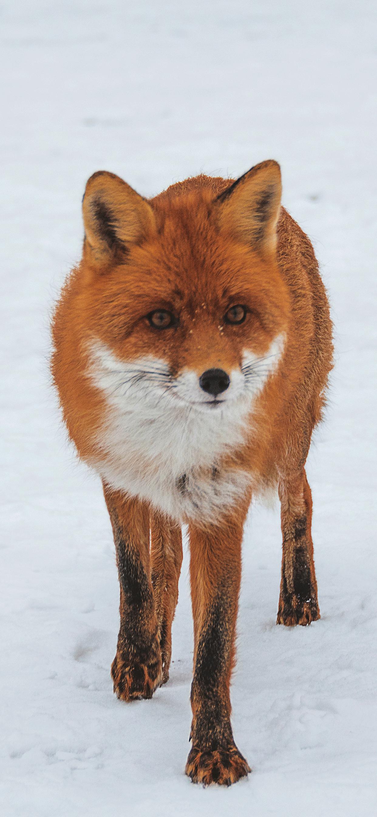 iPhone wallpaper fox ukraine Fox