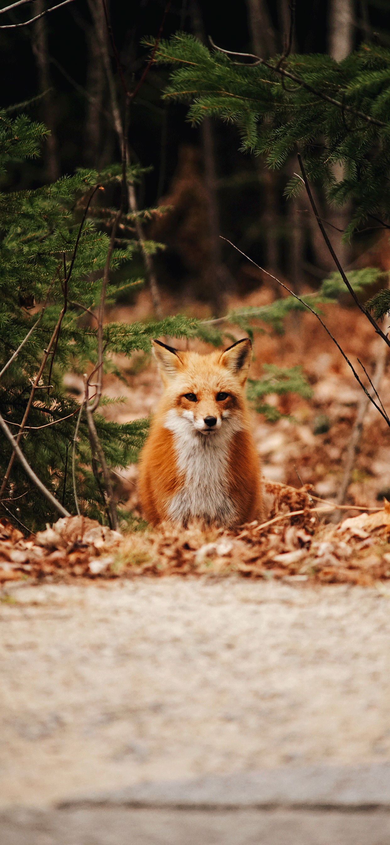iPhone wallpaper fox Fox