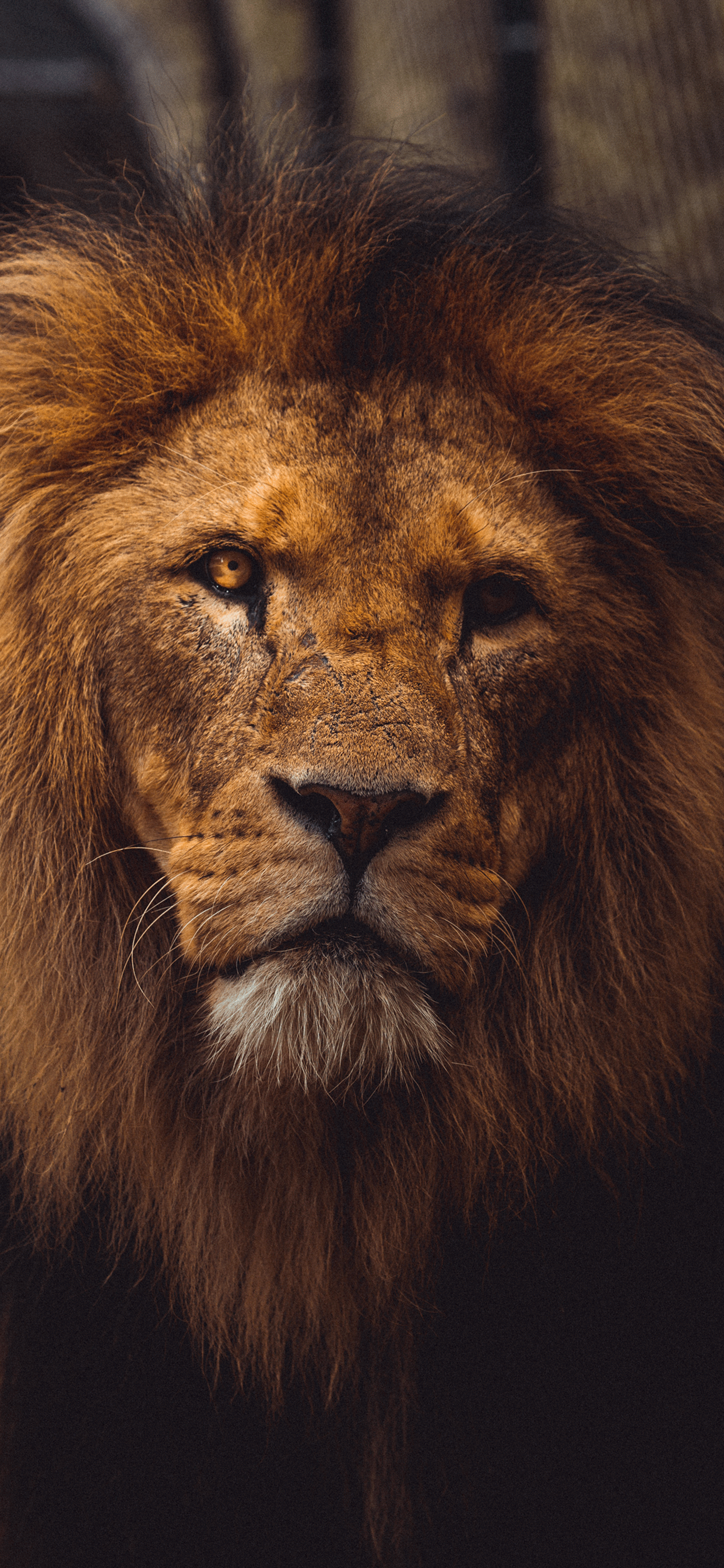 iPhone wallpaper lion eye Fonds d'écran iPhone du 12/02/2019