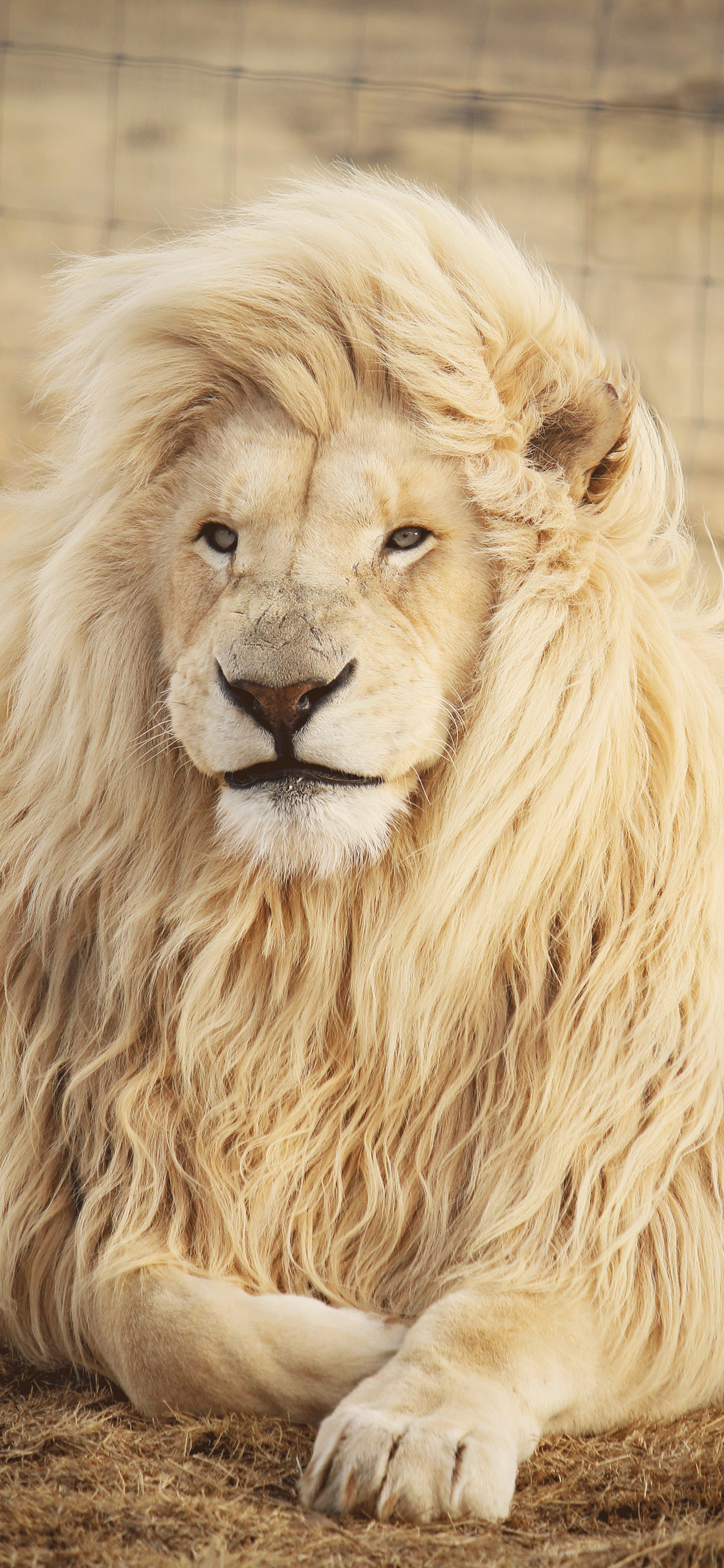 iPhone wallpaper lion south africa Fonds d'écran iPhone du 12/02/2019
