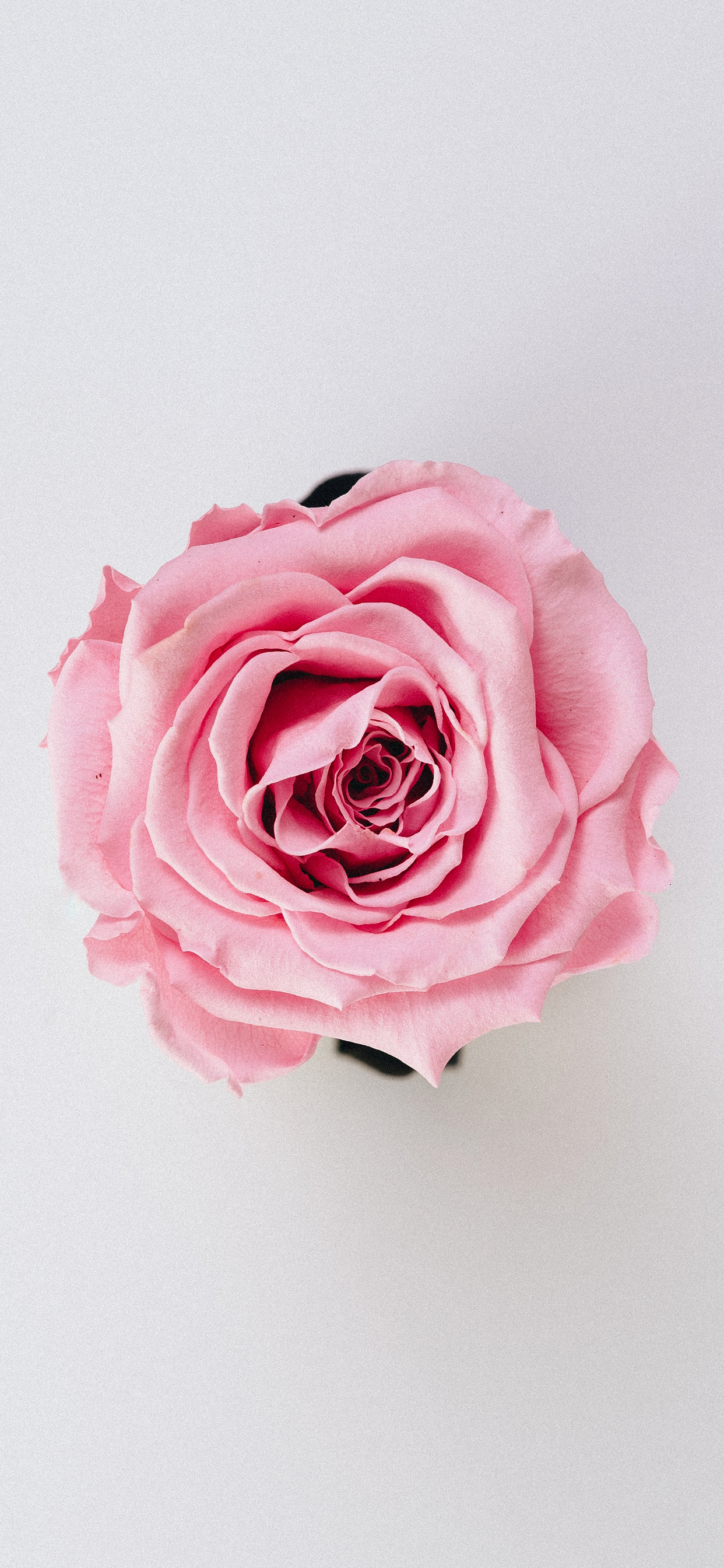 Rose Wallpaper For Iphone X 8 7 6 Free Download On 3wallpapers