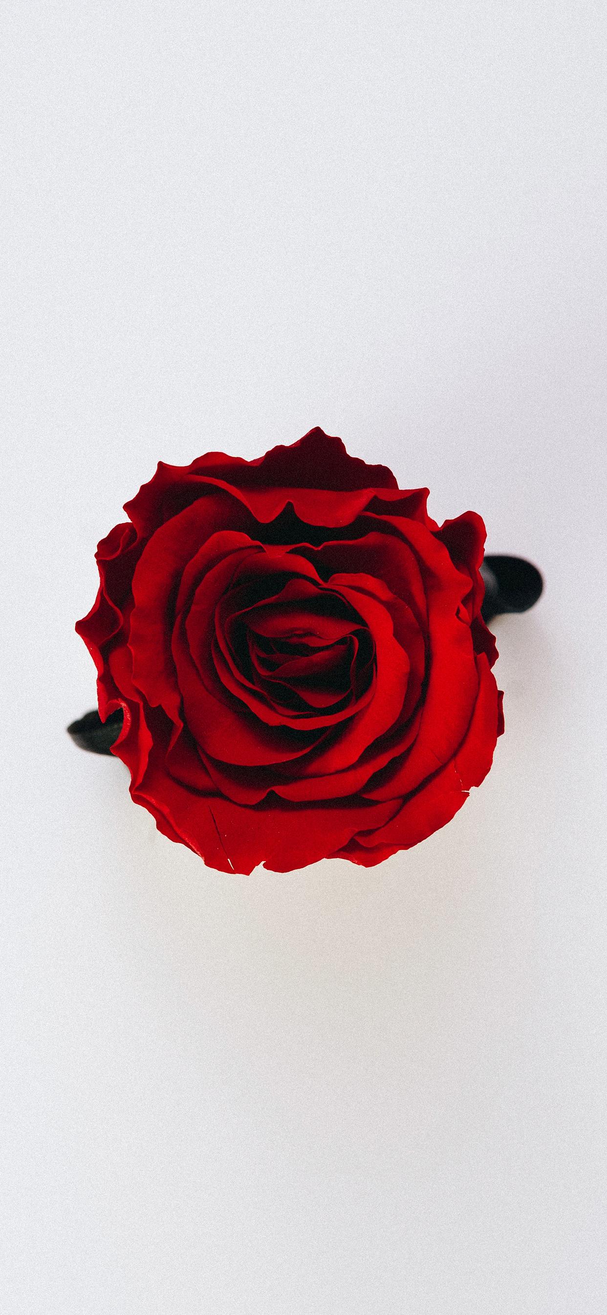 iPhone wallpaper rose red Rose