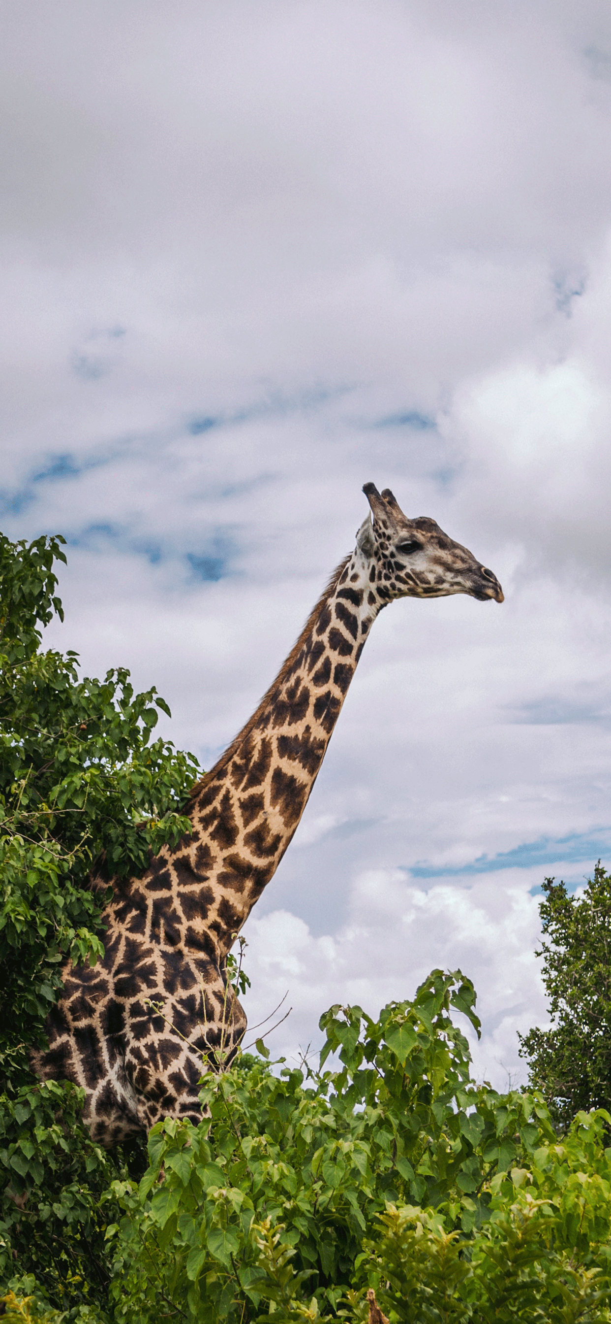 iPhone wallpaper botswana giraffe Fonds d'écran iPhone du 19/03/2019