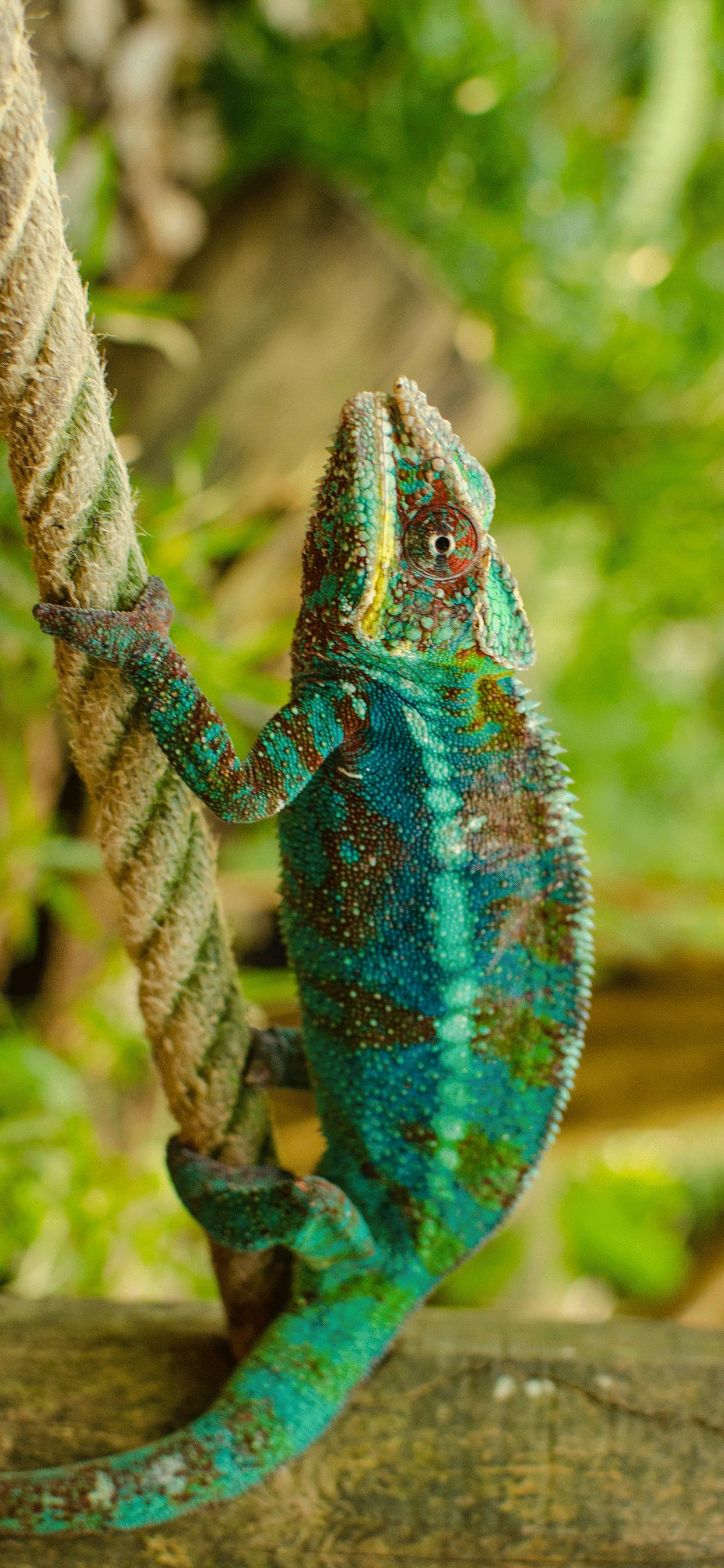 iPhone wallpaper chameleon rope colors Chameleon