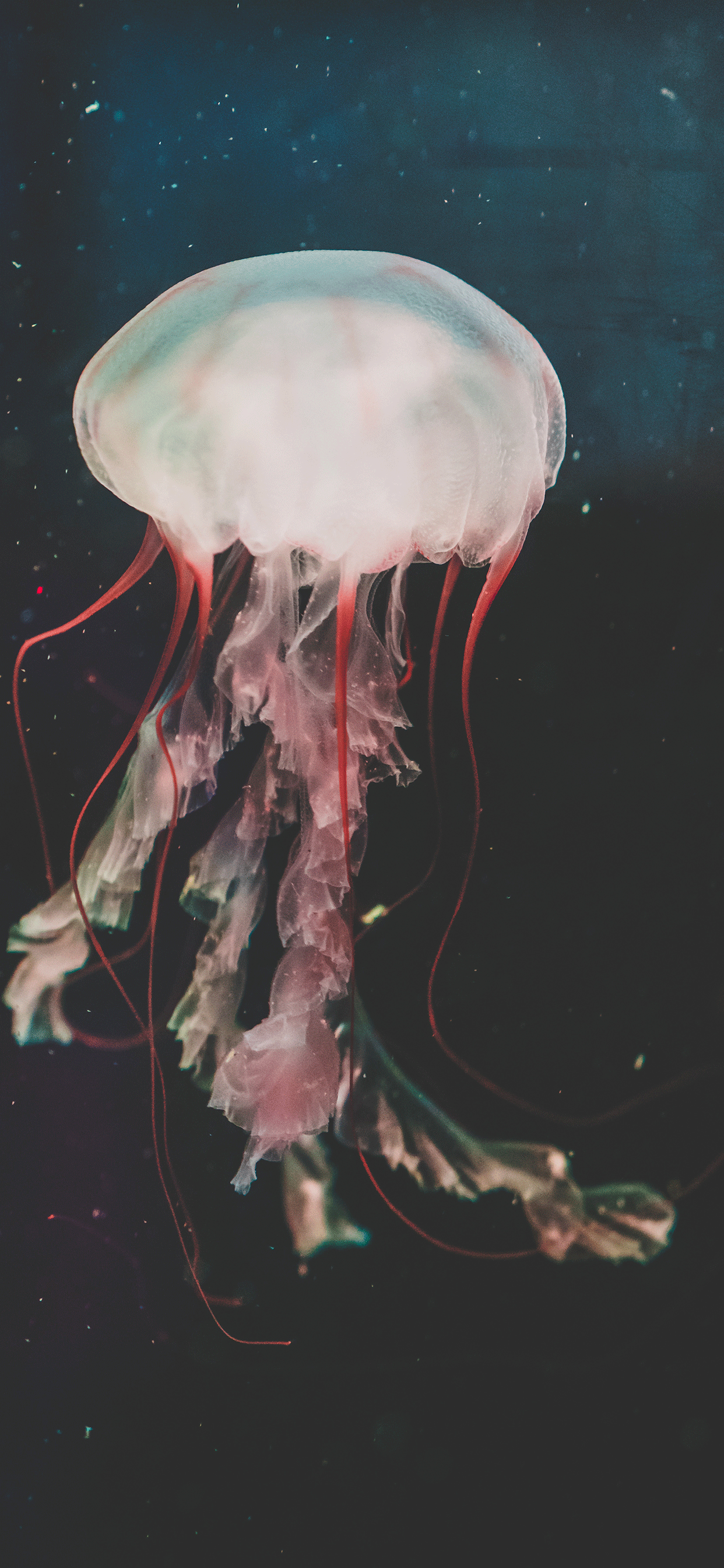 iPhone wallpapers jellyfish aquarium shedd Fonds d'écran iPhone du 26/03/2019