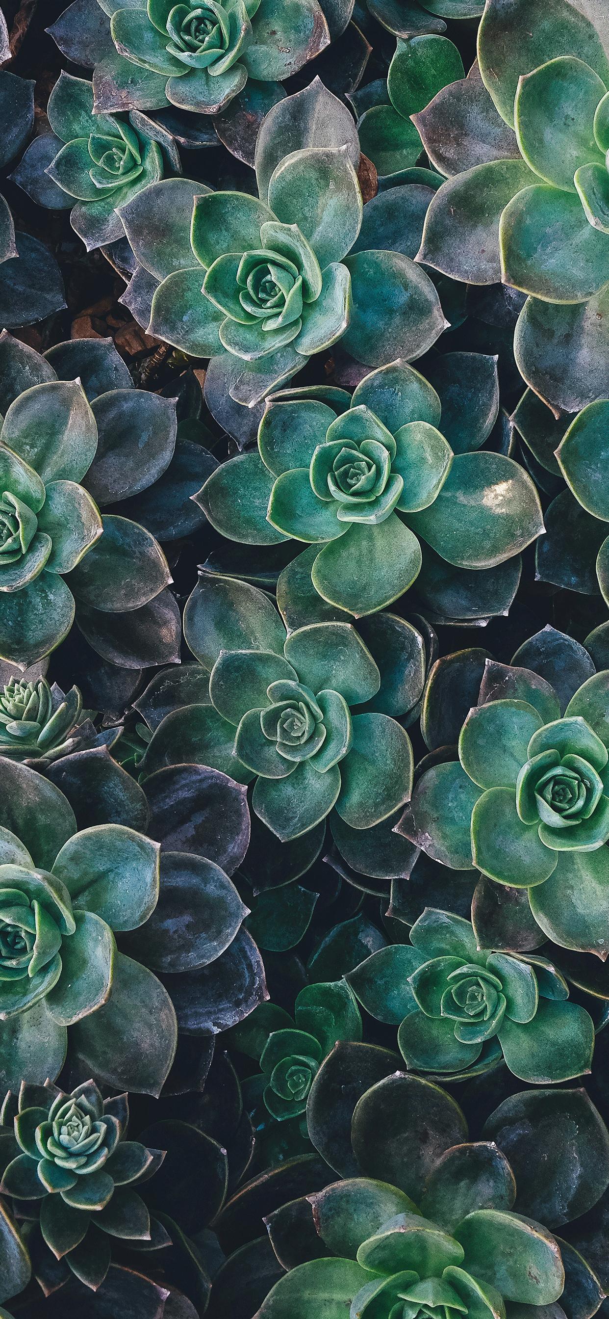 Succulent Plant Wallpaper For Iphone 11 Pro Max X 8 7