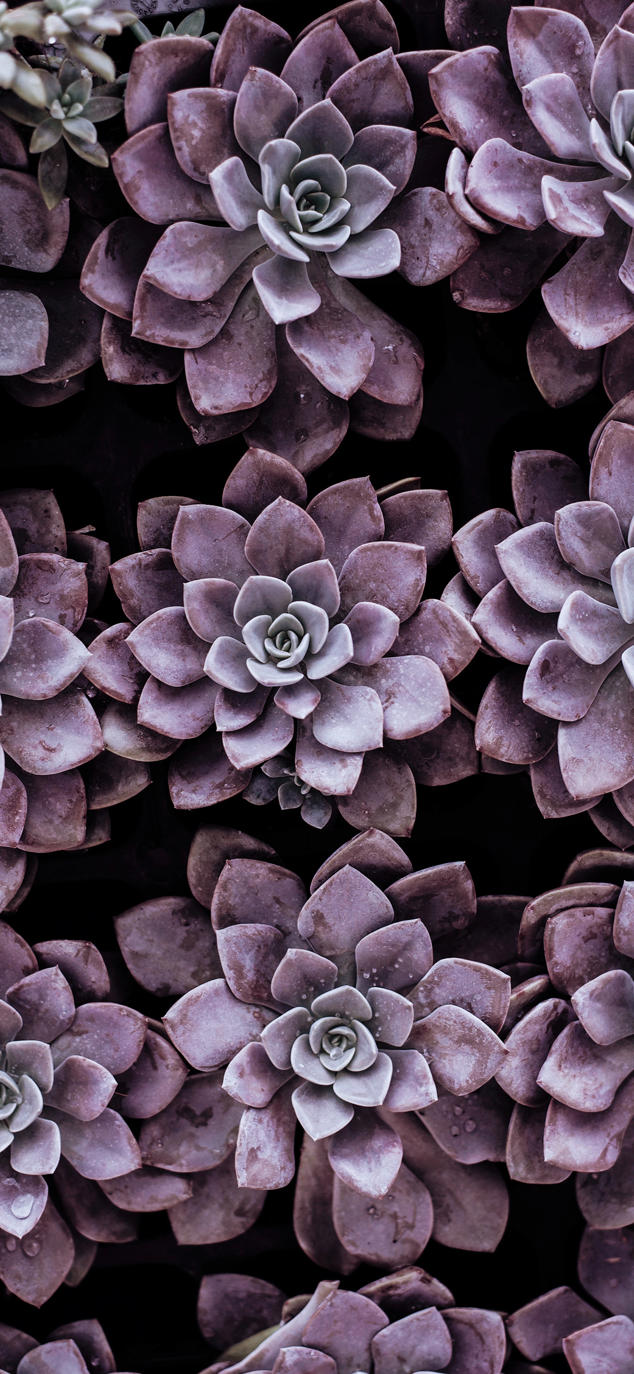 iPhone wallpaper succulent plant pink Fonds d'écran iPhone du 08/04/2019