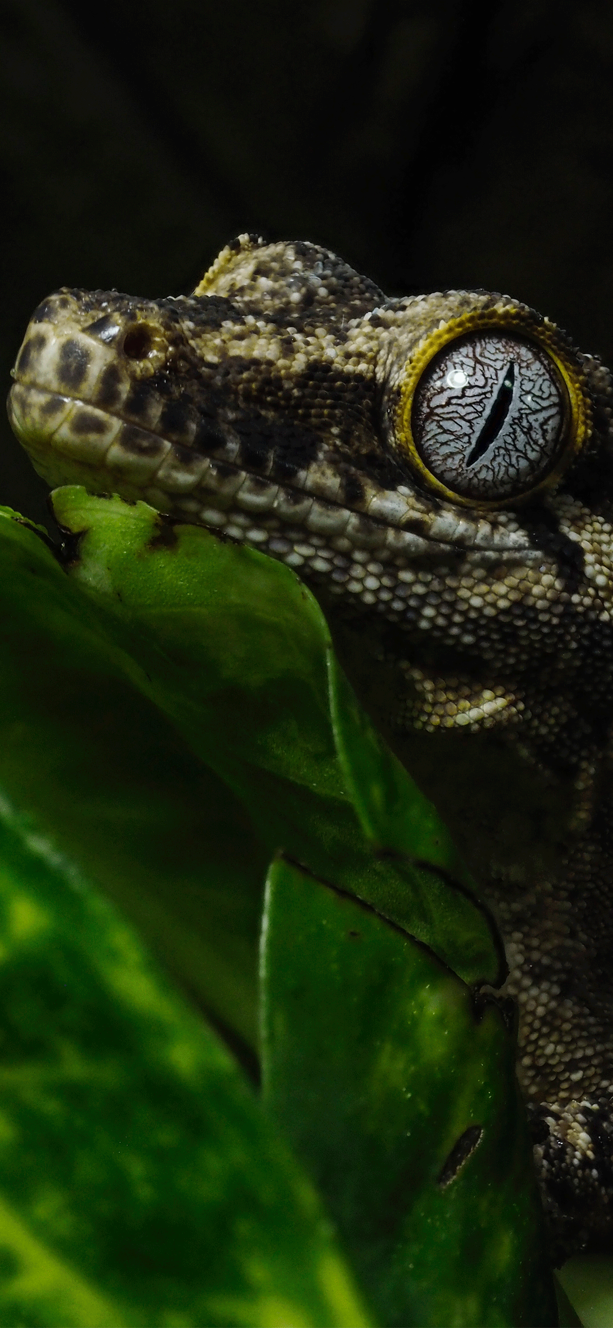 iPhone wallpapers reptiles gecko Fonds d'écran iPhone du 15/04/2019