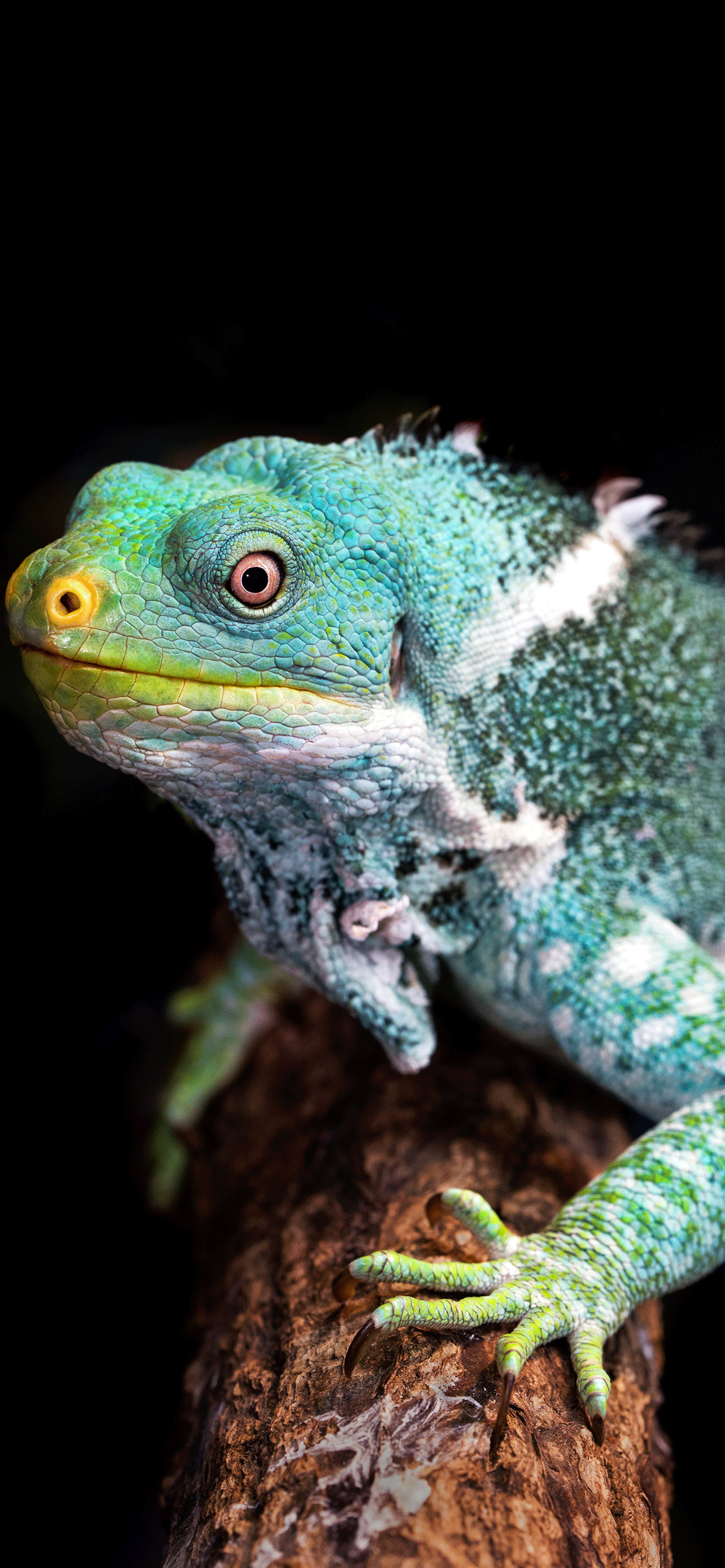 iPhone wallpapers reptiles iguana Fonds d'écran iPhone du 15/04/2019