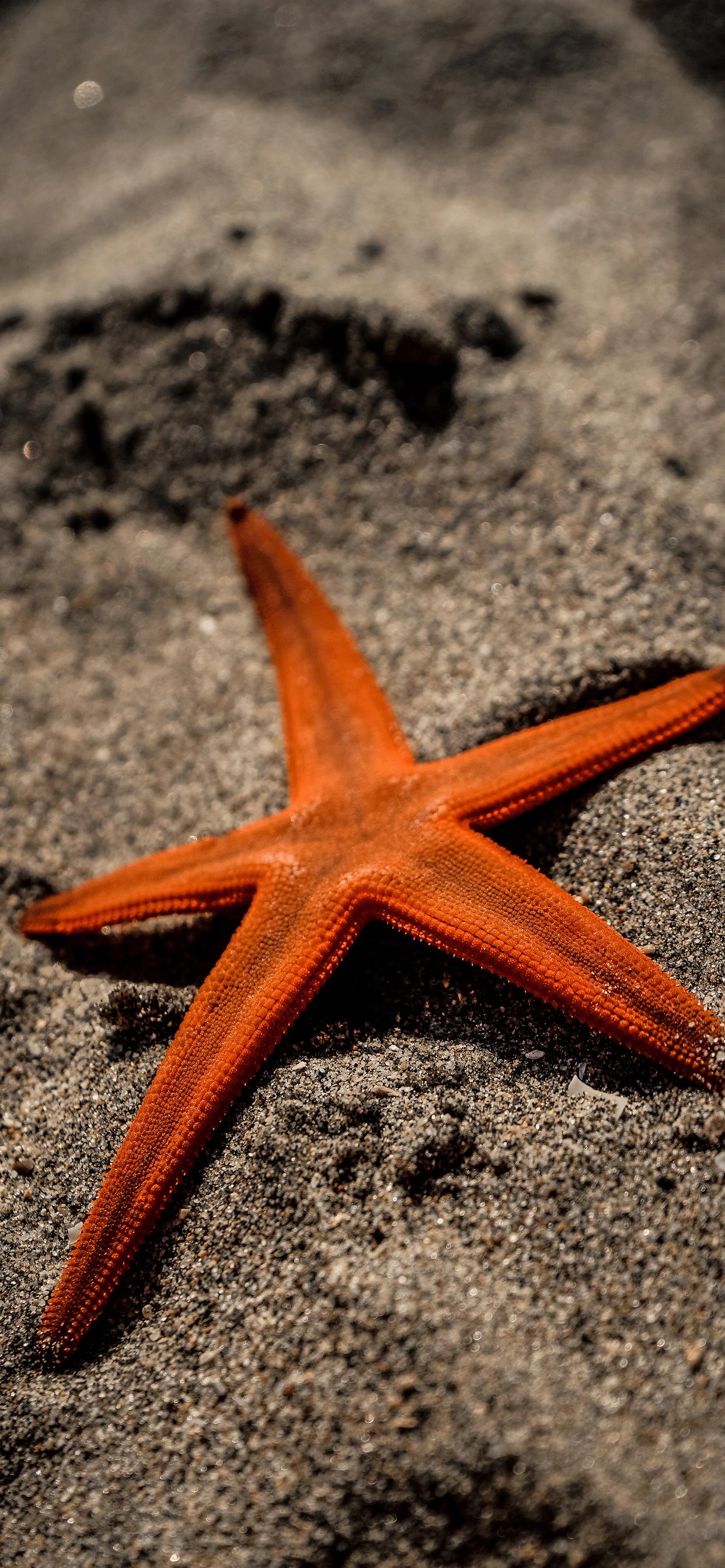iPhone wallpapers starfish orange Starfish