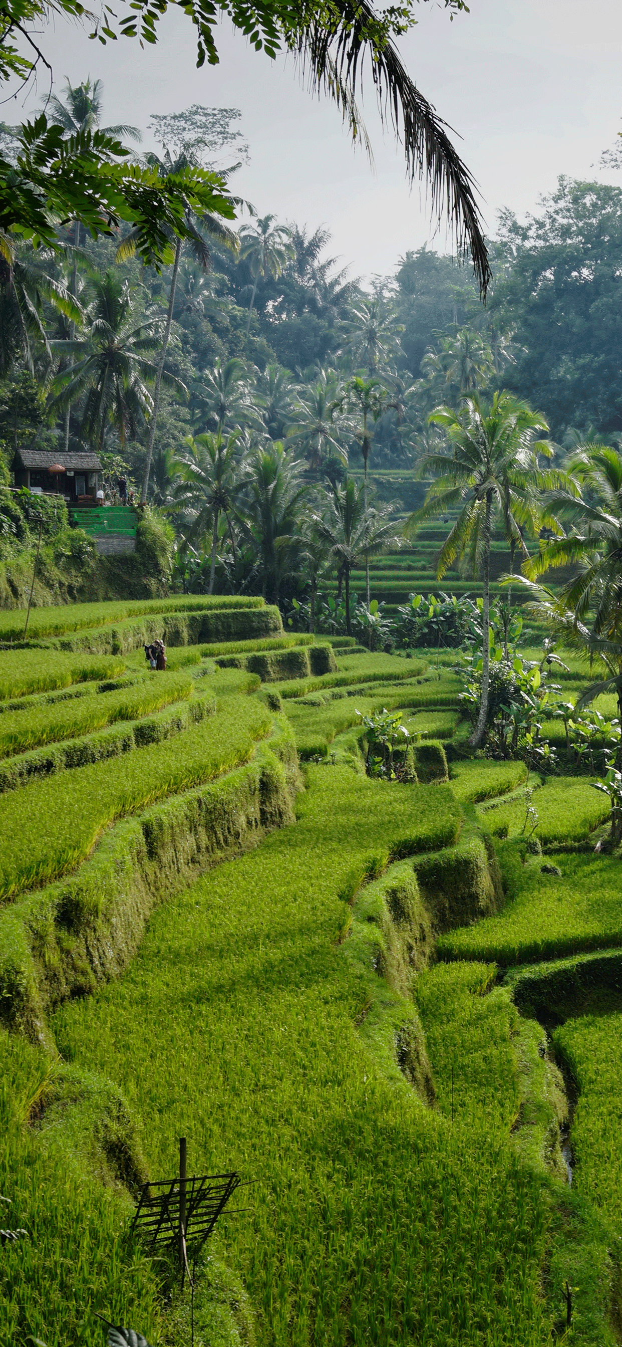 iPhone wallpapers ubud indonesia tegelalang. Fonds d'écran iPhone du 09/05/2019
