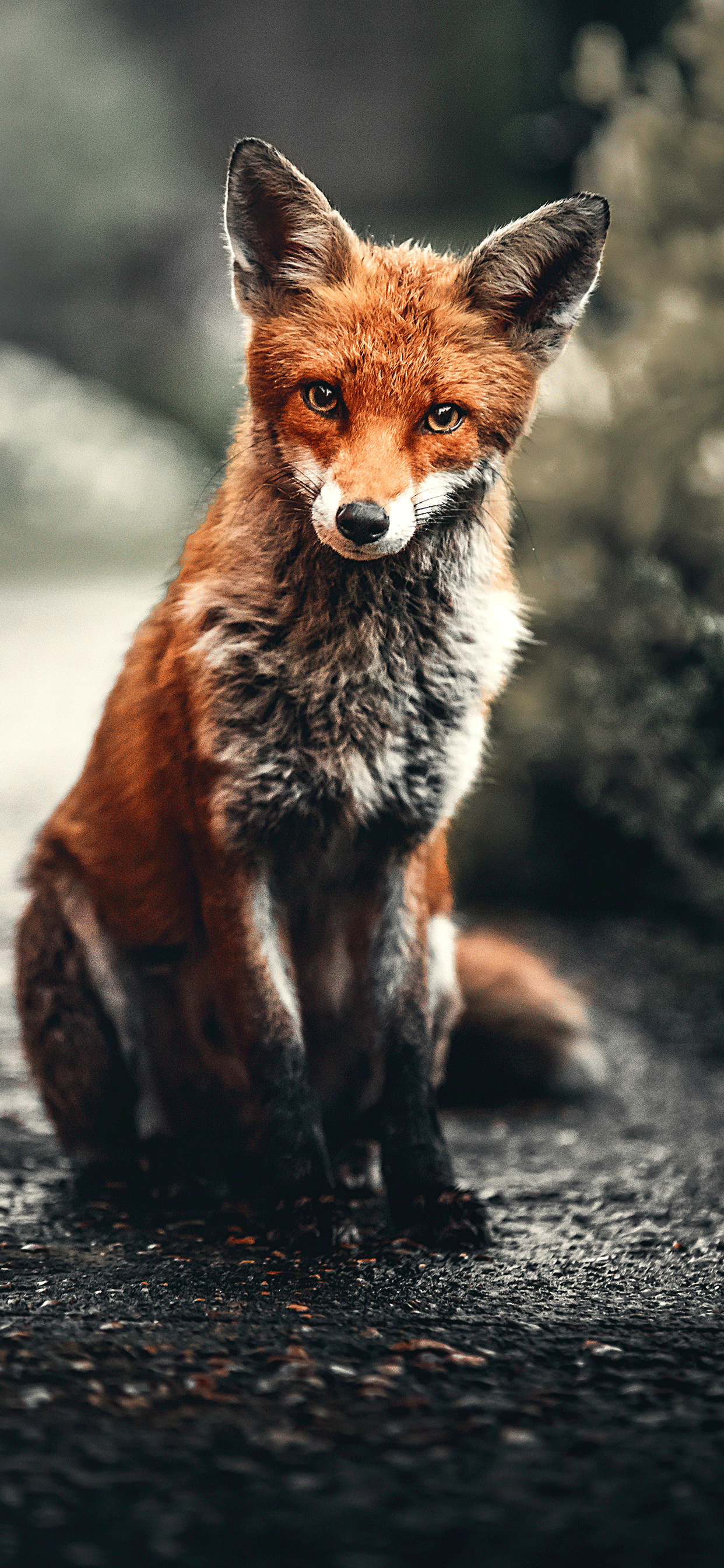 iPhone wallpapers fox looking camera Fonds d'écran iPhone du 28/06/2019