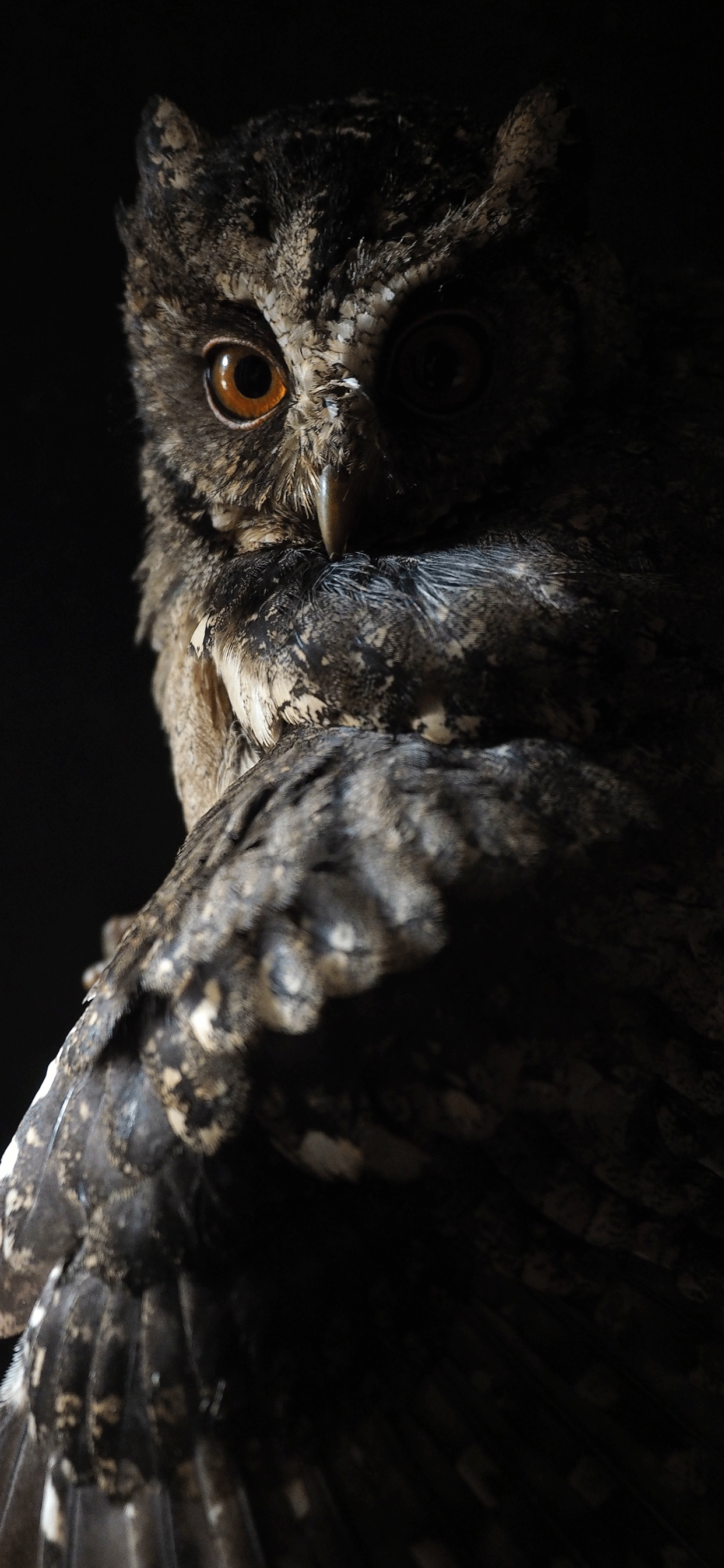 iPhone wallpapers owl dark Owl