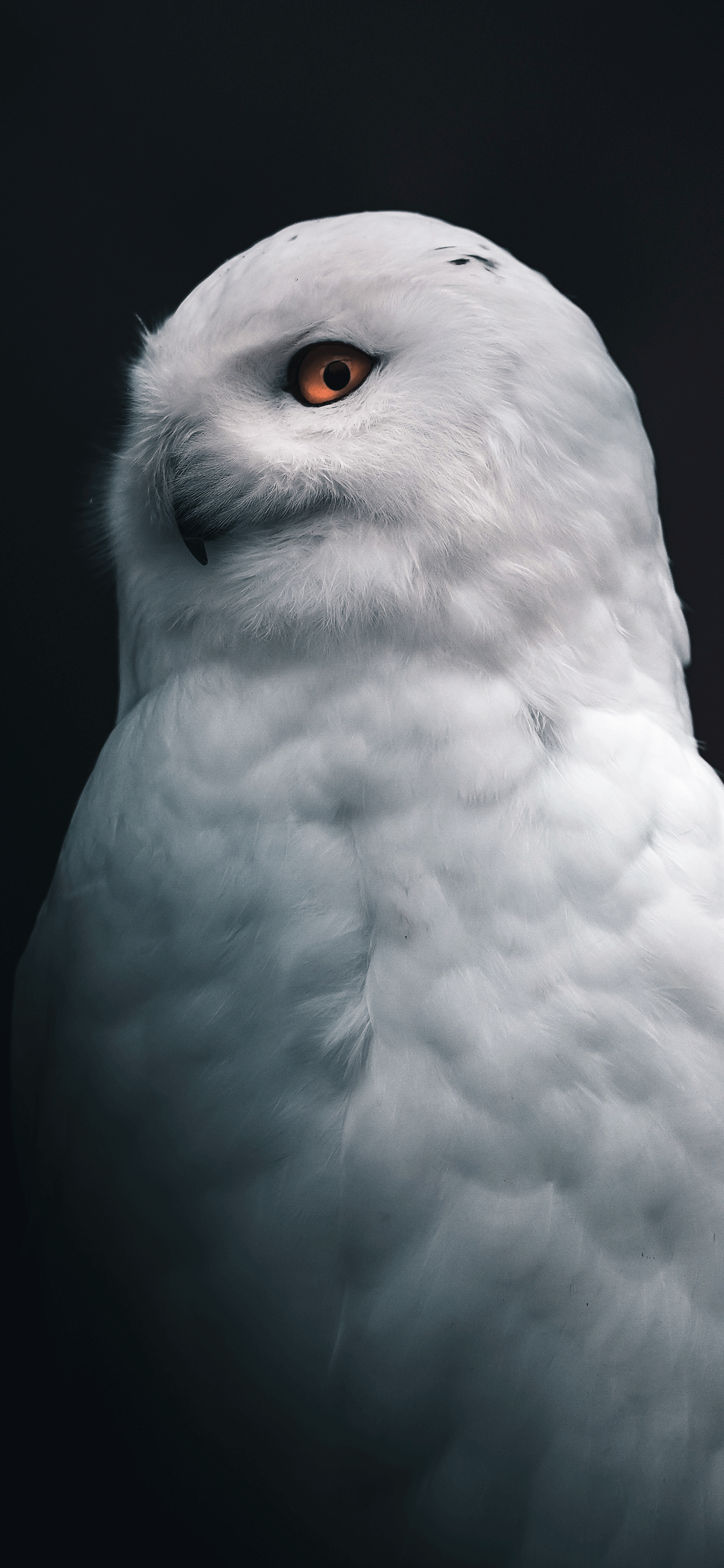 Owl Wallpaper For Iphone X 8 7 6 Free Download On