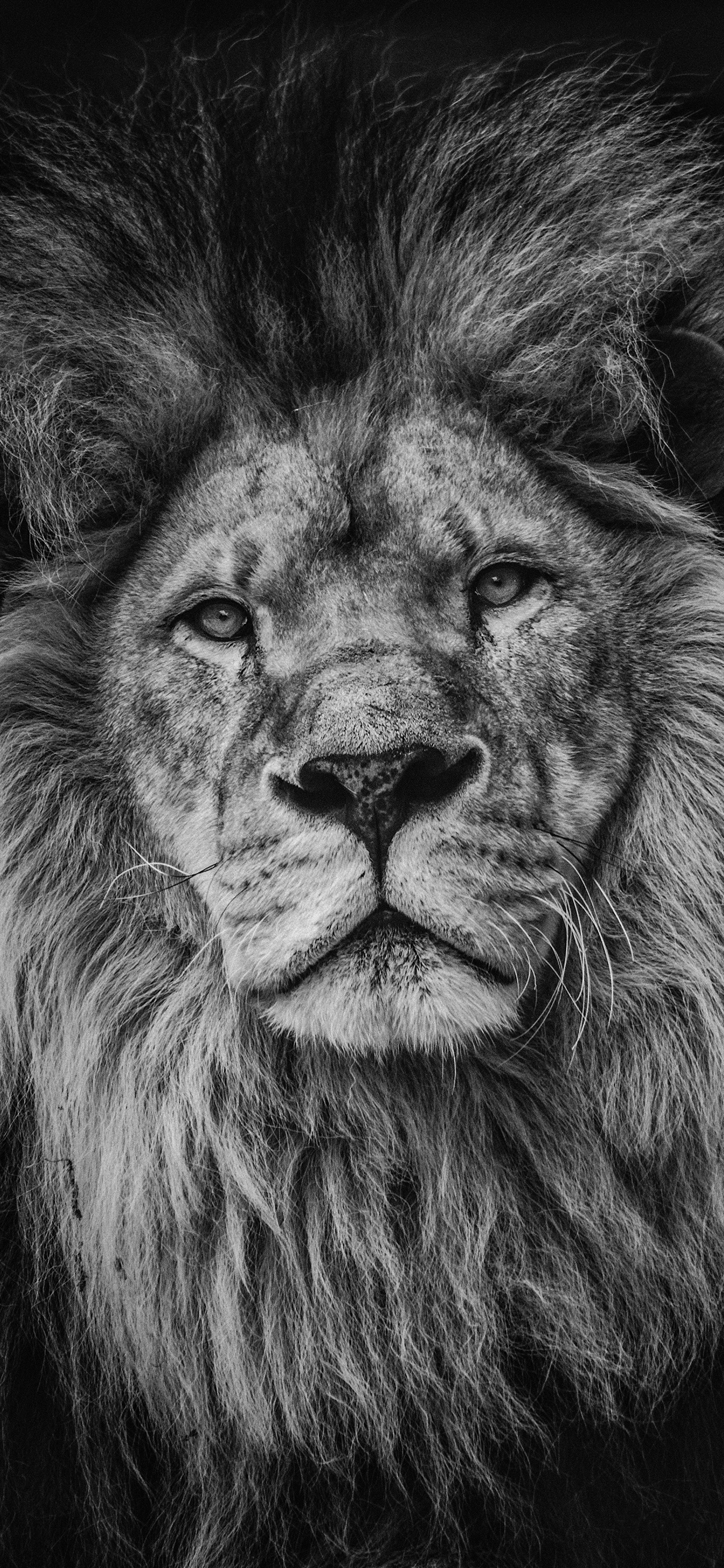iPhone wallpaper lion black white Fonds d'écran iPhone du 09/07/2019