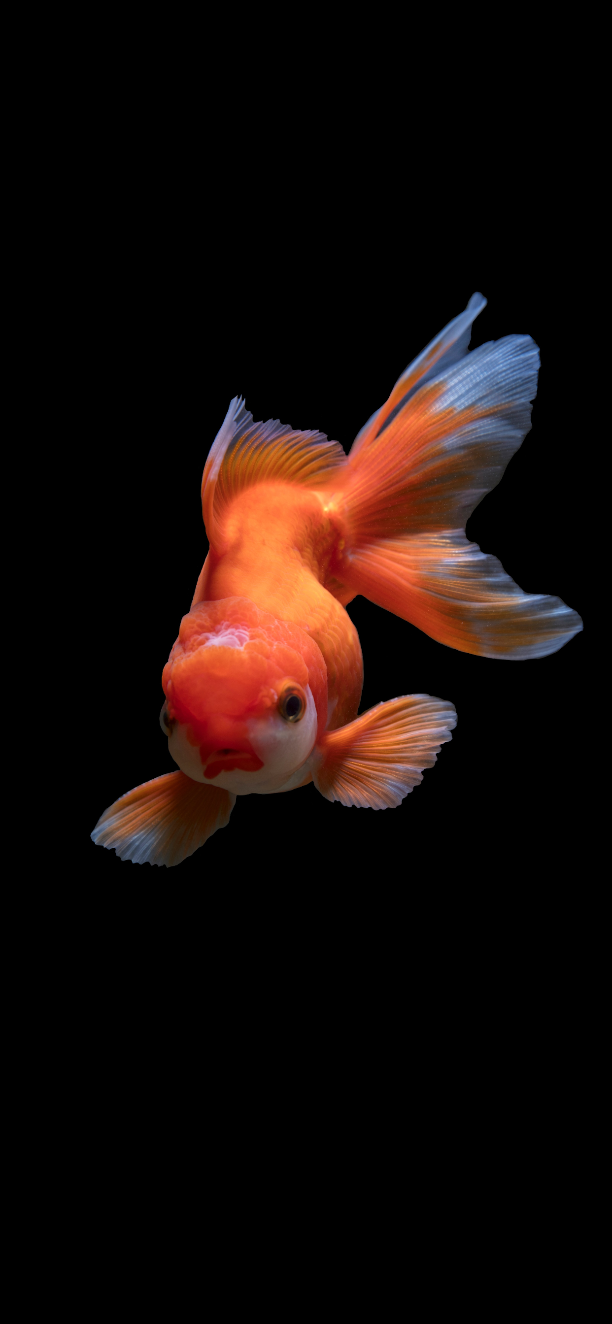 iPhone wallpapers fish orange Fish