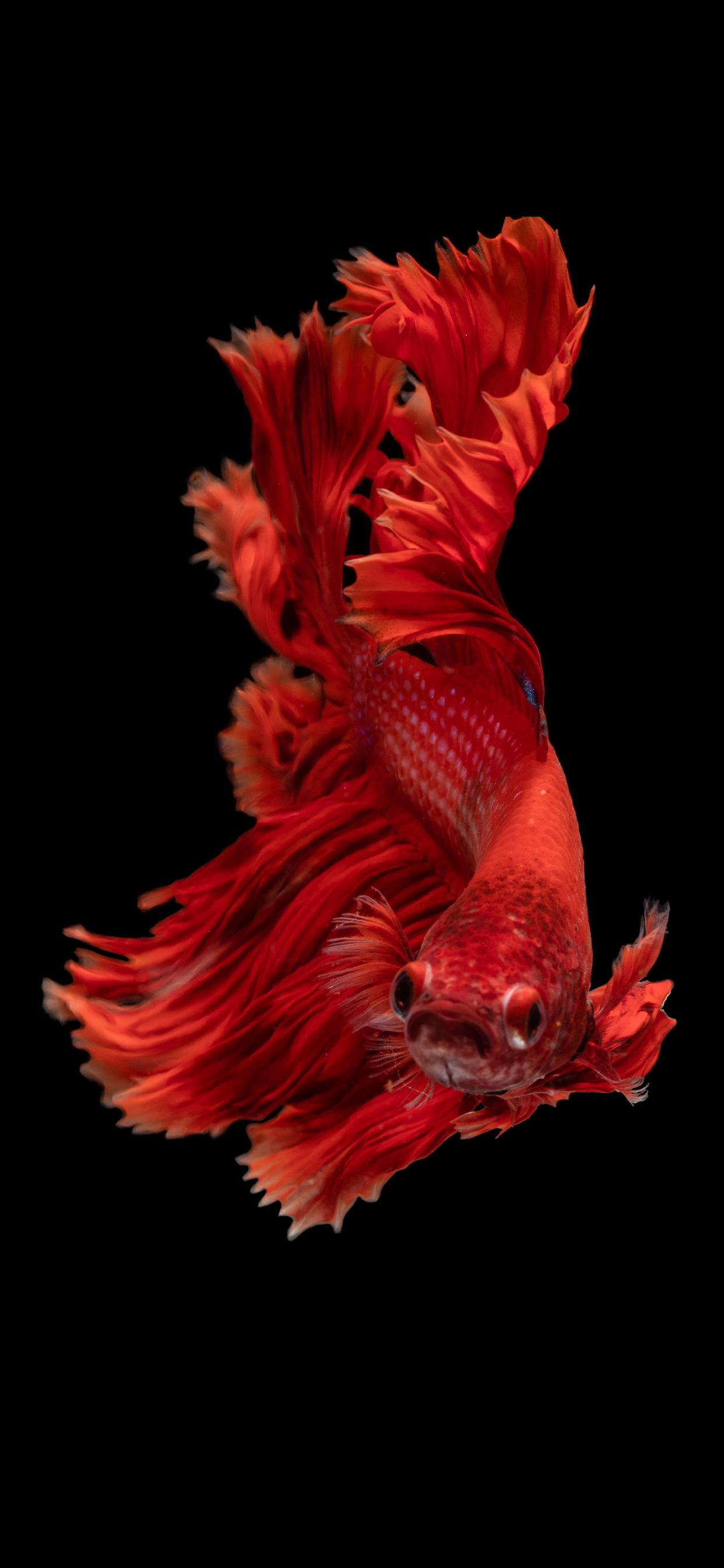 iPhone wallpapers fish red Fonds d'écran iPhone du 25/09/2019