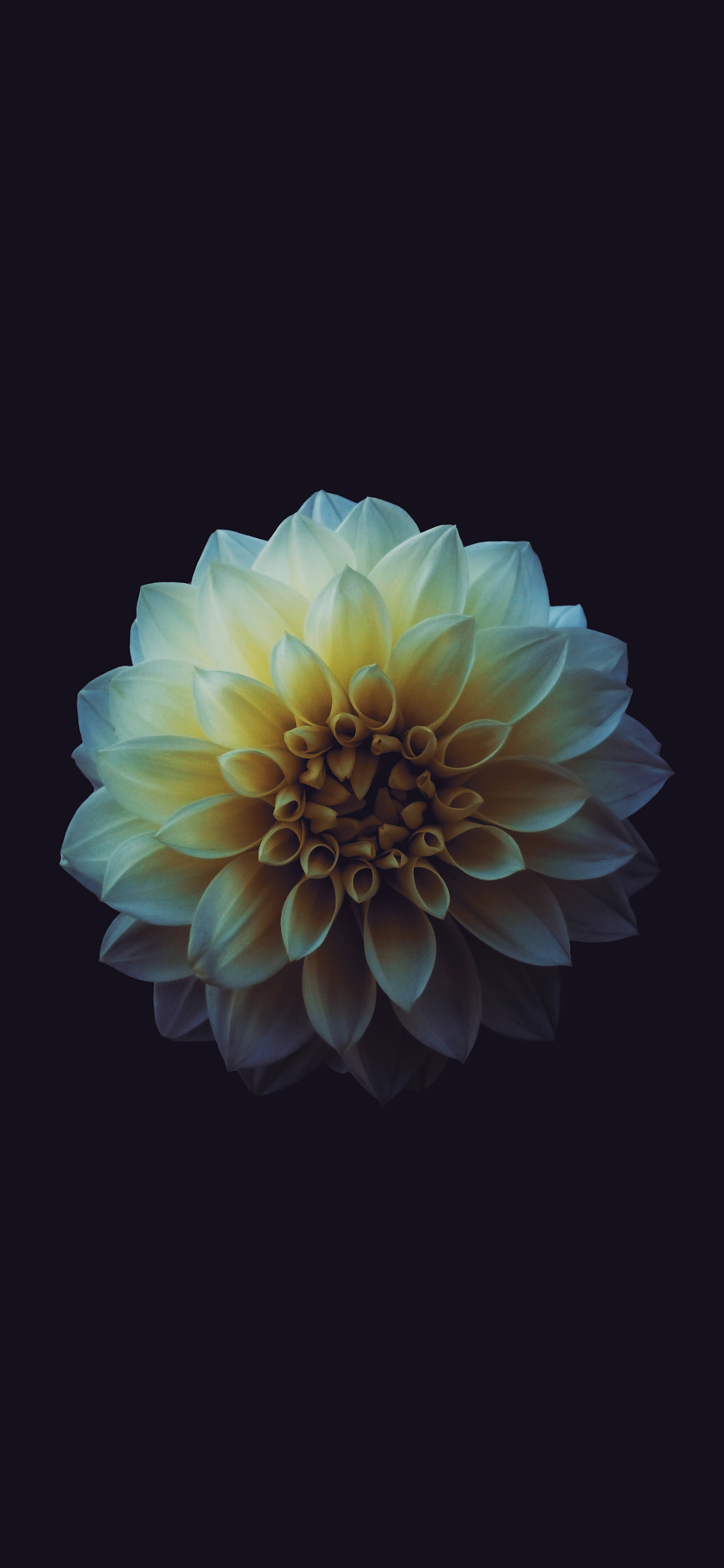 iPhone wallpapers flowers dahlia blossom Flowers