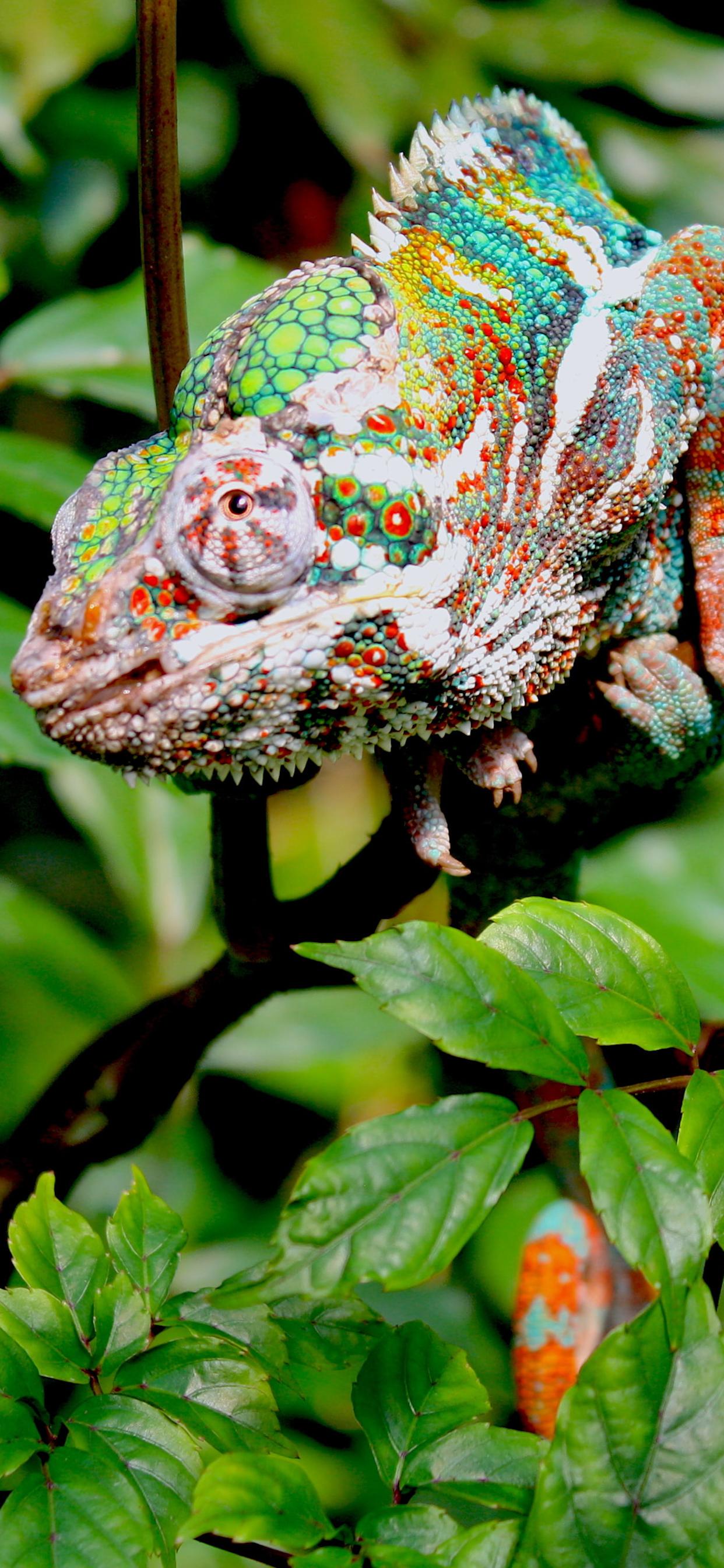 iPhone wallpapers chameleon colors masoalah Fonds d'écran iPhone du 14/01/2020