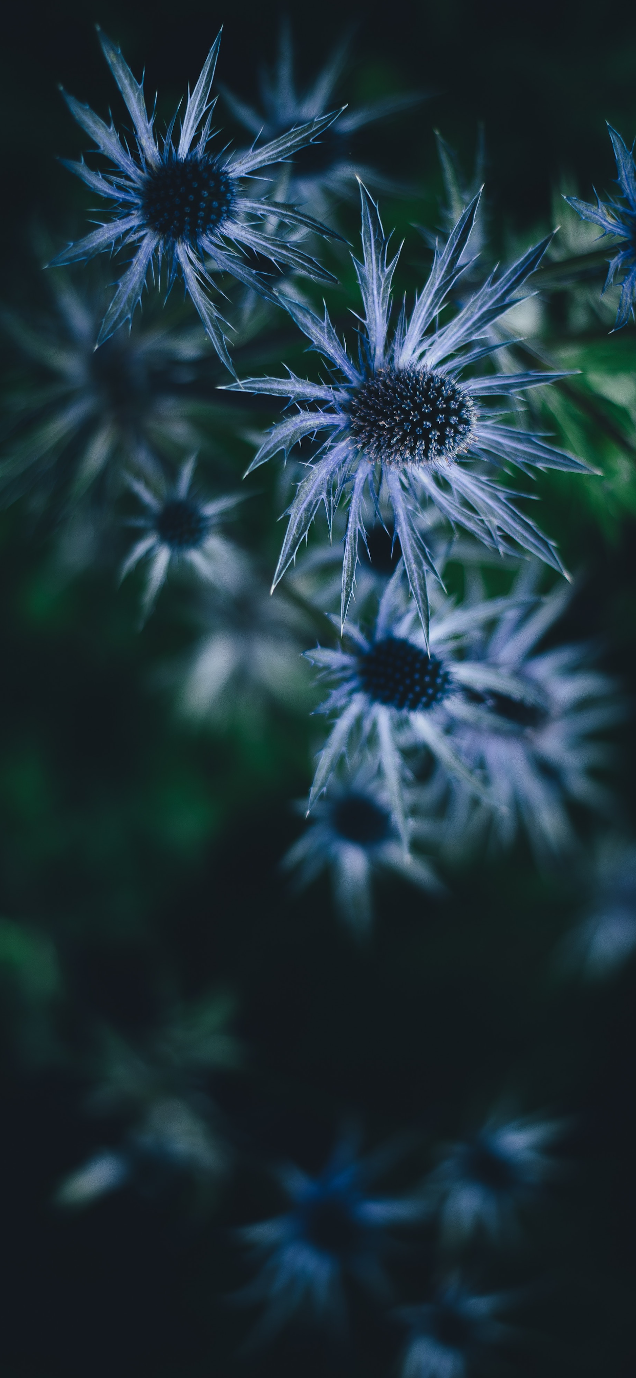 iPhone wallpapers flowers blue gray Flowers