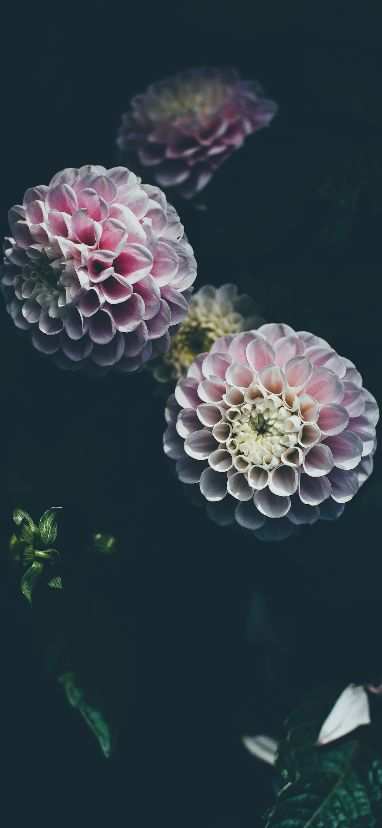 iPhone wallpapers flowers pink dahlia Flowers