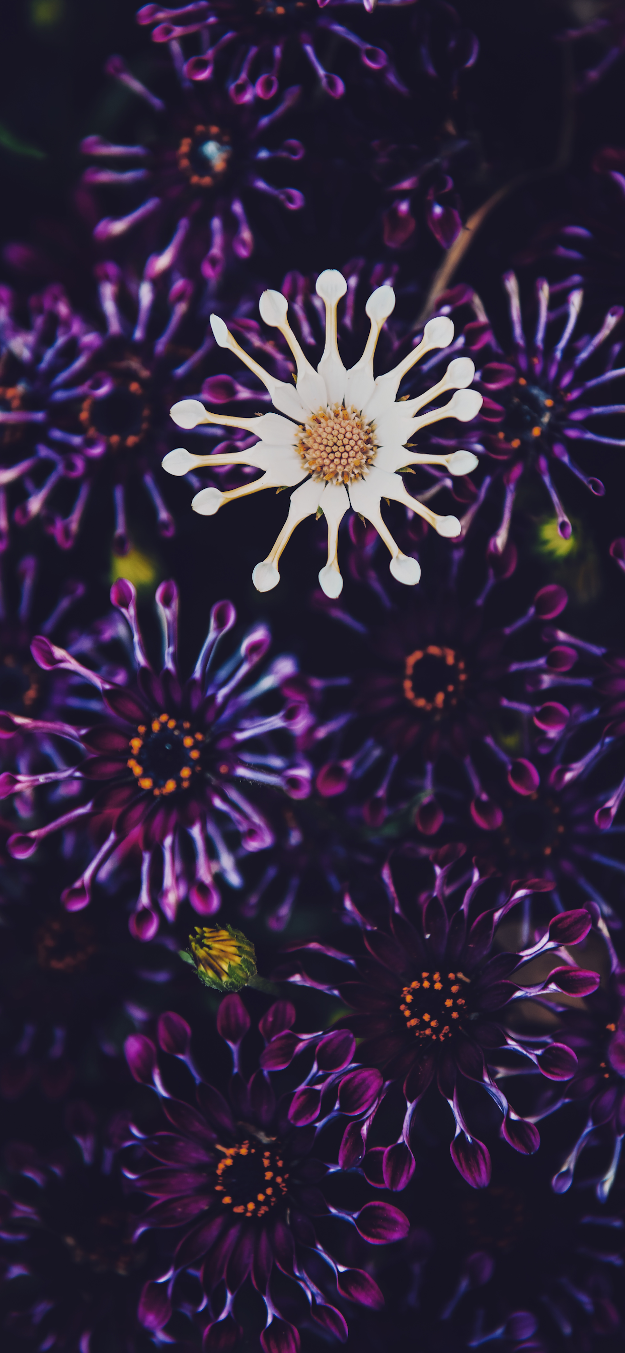 iPhone wallpapers flowers whirligig osteospermum Fonds d'écran iPhone du 09/01/2020