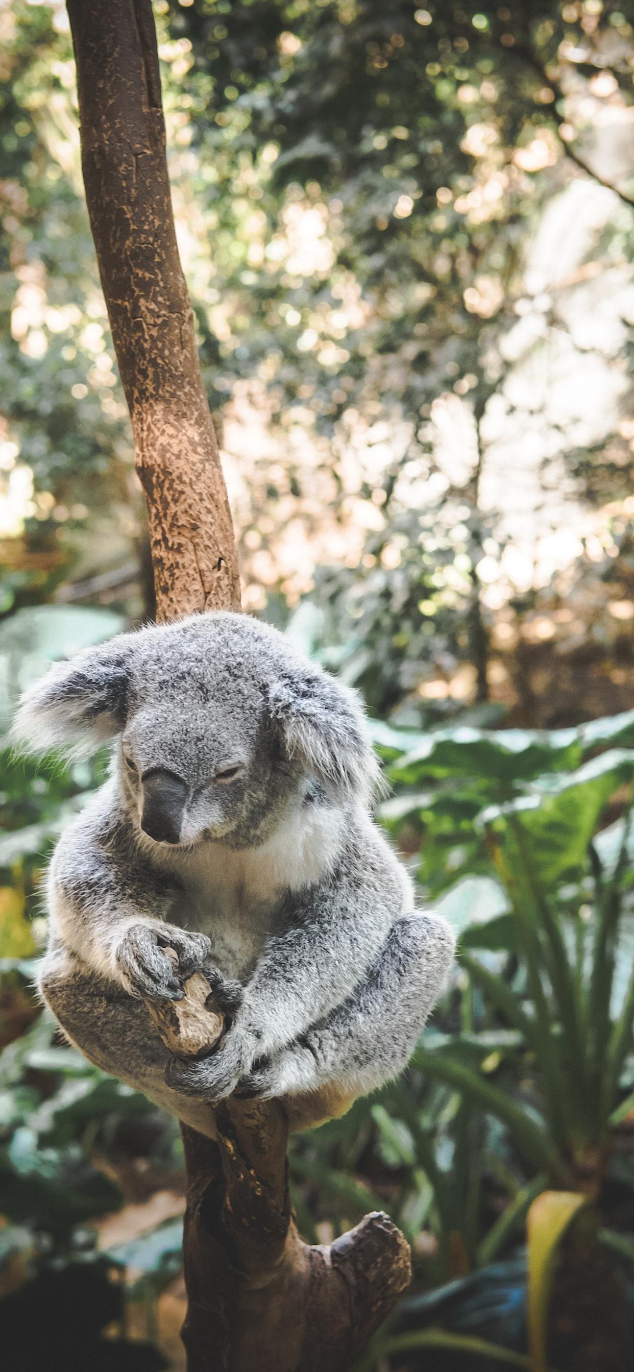 iPhone wallpapers koala blackbutt nature reserve Koala