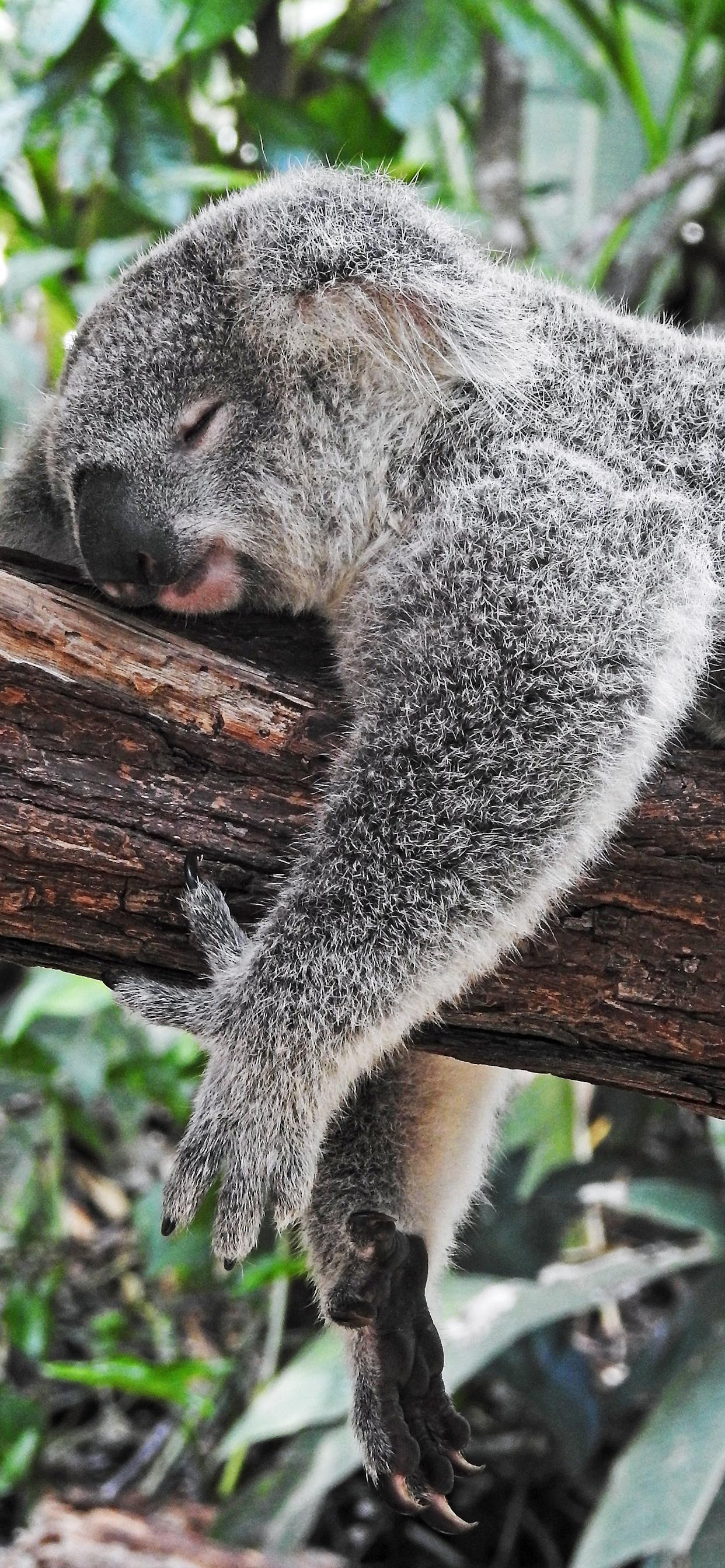 iPhone wallpapers koala kuranda gardens Fonds d'écran iPhone du 12/03/2020